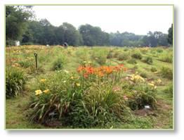 Seawright, day lilies, lyme disease