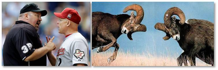 male confrontation, baseball manager/umpire fighting, bighorn sheep fighting