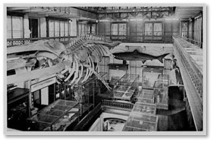 The museum's interior centerpiece was originally a large, two-story hall and atrium that reached up to the ceiling, lit by clerestory windows. In this space hung the skeleton of a whale and below it were the glass-topped display cases typical of museum exhibits in the nineteenth century.