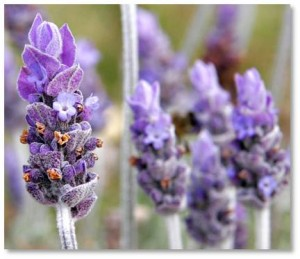 Nutritional supplements: Today, lavender is still used as a headache remedy, thanks to two ingredients that raise the threshold for pain and inhibit hormonal reactions that create pain and inflammation.