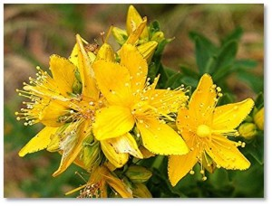 Nutritional Supplements: The key fact to remember about St. John's Wort is that, of all herbs used therapeutically, it reacts with more allopathic medicines than any other. So, while St. John's Wort has antibacterial, anti-inflammatory, antiviral, and pain-reducing properties, you should never take it without consulting with your physician.