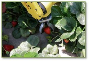 Both Lost Angeles-based Robotic Harvesting and Utsonomiya University's graduate school of Engineers, along with others, have developed strawberry-harvesting robots.