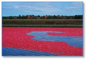 There are more than 11,000 acres of cranberry bogs under cultivation in Massachusetts. One acre of bog yields 150 barrels of berries. Dollar for acre, cranberry bogs are among the most expensive farmland in the state and the humble cranberry is a big business.