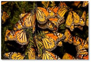 Monarch Butterflies, Flight Behavior, Barbara Kingsolver