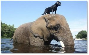 elephant carrying dog, animal altruism, animals helping animals
