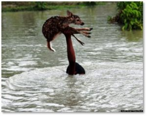 man rescues deer, flood