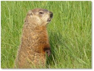 woodchuck, marmota mormax, groundhog, marmot