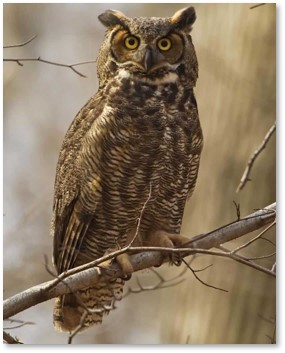 Great Horned Owl, Bubo virginianus, Audubon Society, owl calls