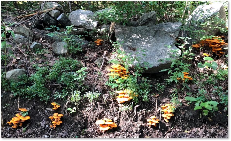 jack o lantern mushrooms, Omphalotus illudens