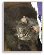 Mystique, Maine Coon cat, moving a cat