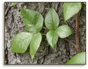 poison ivy, toxicodendron radicans, urushiol