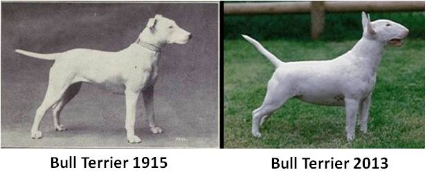 Bull terrier, Breeds of All Nations, W.E. Mason, overbred dog