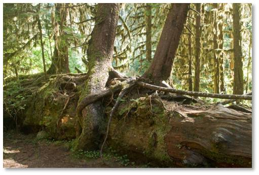 nurse log, rainforest