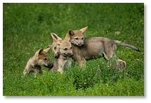 young wolves, free-range children, childhood