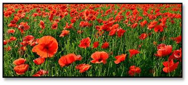 Poppies, Poppy field, Armistice Day, Veterans Day