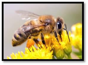 honeybee, apis mellifera, colony collapse disorder, honey