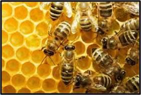 beehive, honeybee, honey, apis mellifera, colony collapse disorder