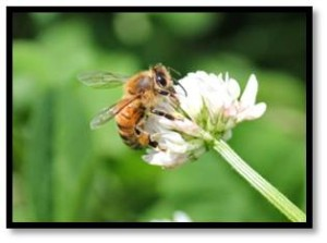 honeybee, pollination, apis mellifera, honeybee on clover, colony collapse disorder