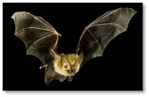 Bat in flight, bat hunting