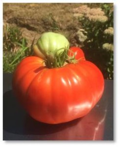 A big tomato would swallow up a small one until it turned into a Frankentomato. This happened most where the plant was so thick I couldn't even see that a tomato was growing in there.