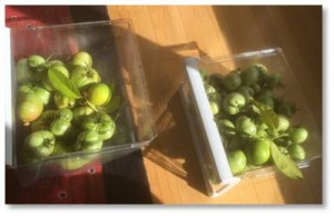 This weekend I went out and picked the green tomatoes off before the frost hit. They are now in plastic bins on the floor ripening in the sunlight. If anyone would like any green tomatoes for any reason or any recipe, please let me know. I am happy to share.
