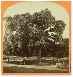 The people of Boston were so moved by its demise that they came to see the fallen giant and many went away with pieces of it. Fortunately, the Great Elm survived into the era of photography so we have some archive photos of it as well as early engravings.