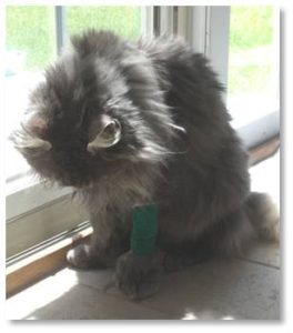 But her health is dicey. Mystique can't lift her head and, while she can move her hind legs, they are uncoordinated, tending to go off in their own directions. Rather than embarrass herself trying to walk she stays crouched on newspapers scattered under the coffee table in the sun room.