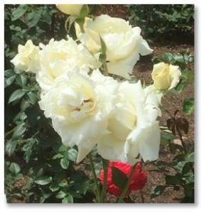Just wander in and take your time smelling the roses because the garden contains many varieties with different sizes, scents, and colors.