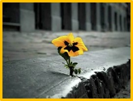 pansy gowing in concrete, adversity and opportunity