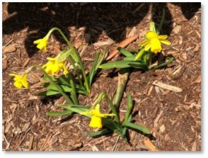 jonquils, daffodils, spring, roundup of April 2018 posts