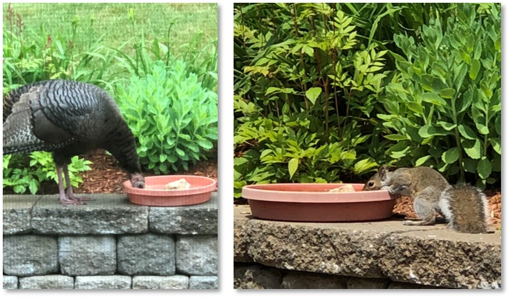 wild turkey, squirrel, bird bath