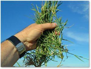 Bermuda grass, grass in the garden, grass as weed