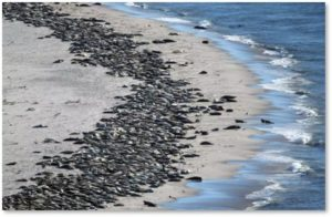 gray seals, Monomoy National Wildwife Refuge, Cape Cod