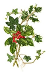 Holly and Ivy, Christmas, greens,