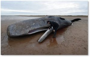 dead sperm whale, plastic pollution