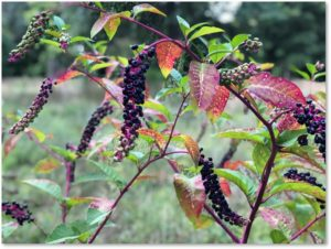 Pokeweed in autumn