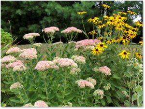 Sedum spectabile, black-eyed Susans, bumblebees