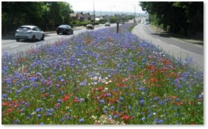 roadside wildflower meadow, insect habitat