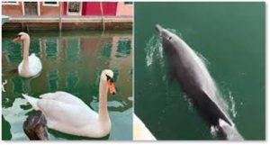 Dolphins, swans, Venice, Venetian canals, coronavirus