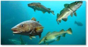 North Atlantic Cod, fish stocks, WWII