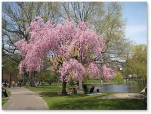 Public Garden, Boston, Cherry Blossoms, Spring, Horace Gray