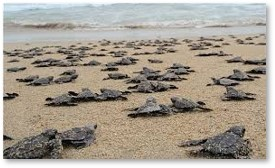 sea turtles, hatchlings, migration, beach, surf