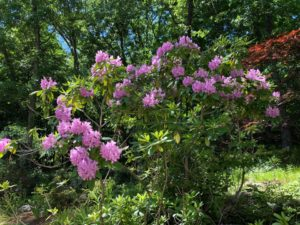Big Rhododendron, First Parish of Sudbury, Memorial Garden,