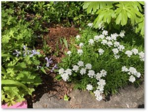 Candytuft, May Apple, Iris, Memorial Garden