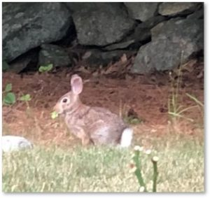 Cottontail Rabbit, bunny, bunnies, garden