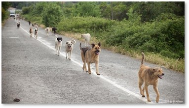 stray dogs, dogs in road, mutts