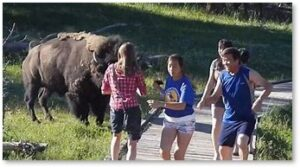 Yellowstone National Park, bison, tourists, photo op
