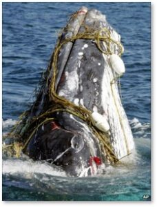 humpback whale trapped in fishing net