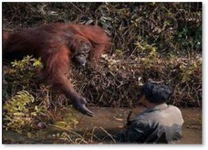 orangutan helps man, Borneo, snakes, animals
